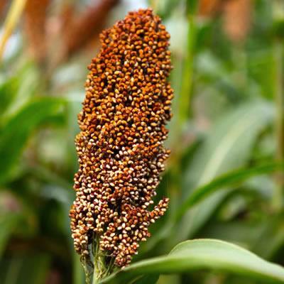 sorghum kernels