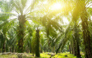 Palm oil is harvested from palm tree farms.
