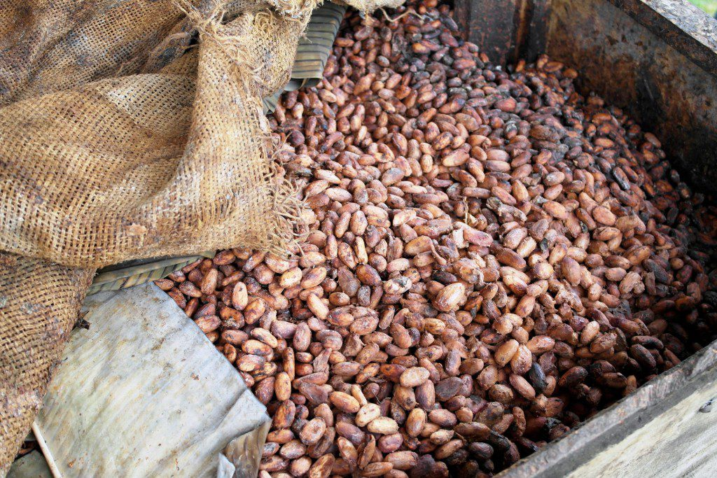 The fermentation of cocoa beans.
