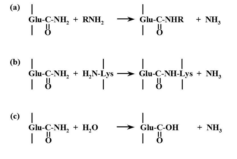 Figure 1 – Transglutaminase mode of action. a) Acyl transfer, b) Crosslinking of Gln and Lys residues in proteins or peptides, c) Deamidation.