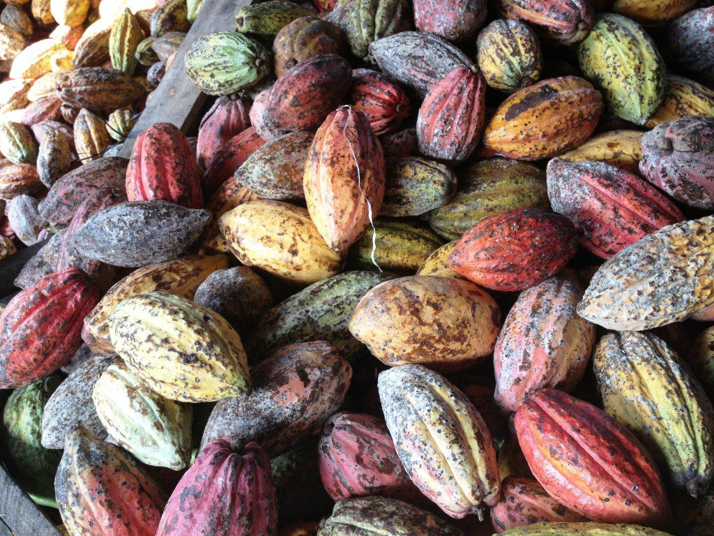 Cocoa pods on their way to be made into chocolate.