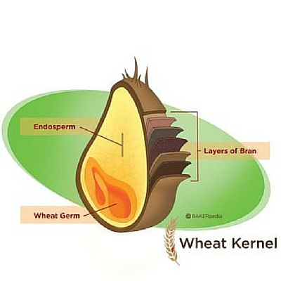 cross-section diagram of a wheat kernel